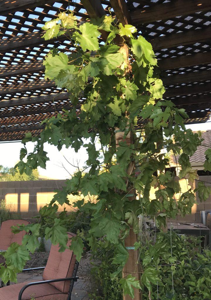 Grape vine on pergola