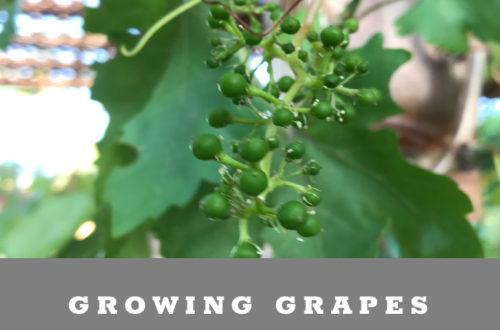 Growing Grapes in Arizona