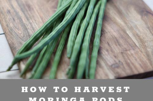 how to harvest & prepare Moringa pods