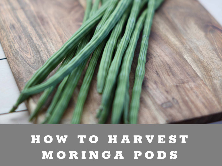 how to harvest & prepare Moringa pods