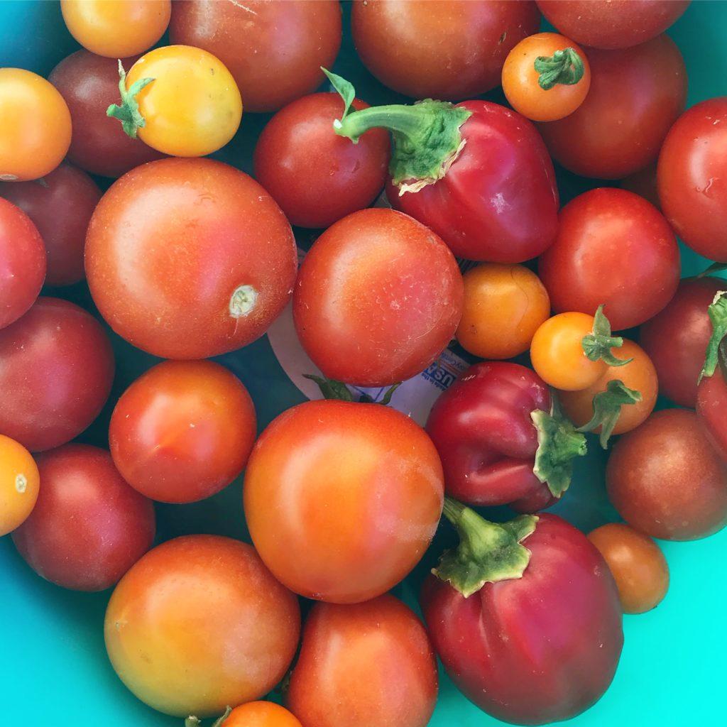 Growing tomatoes in phoenix arizona
