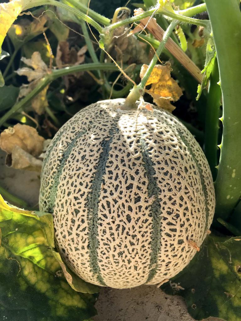Cantaloupe growing in my phoenix backyard urban garden. Plant these in June