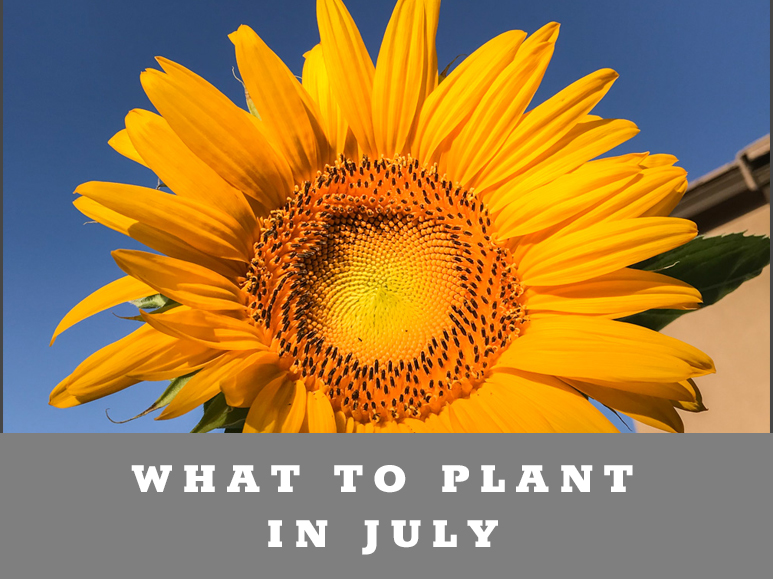 What to plant in July in Arizona Garden