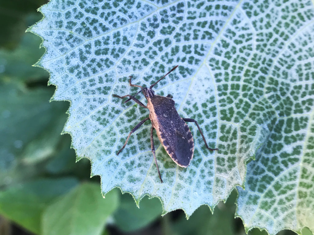 An adult squash bug found in the garden