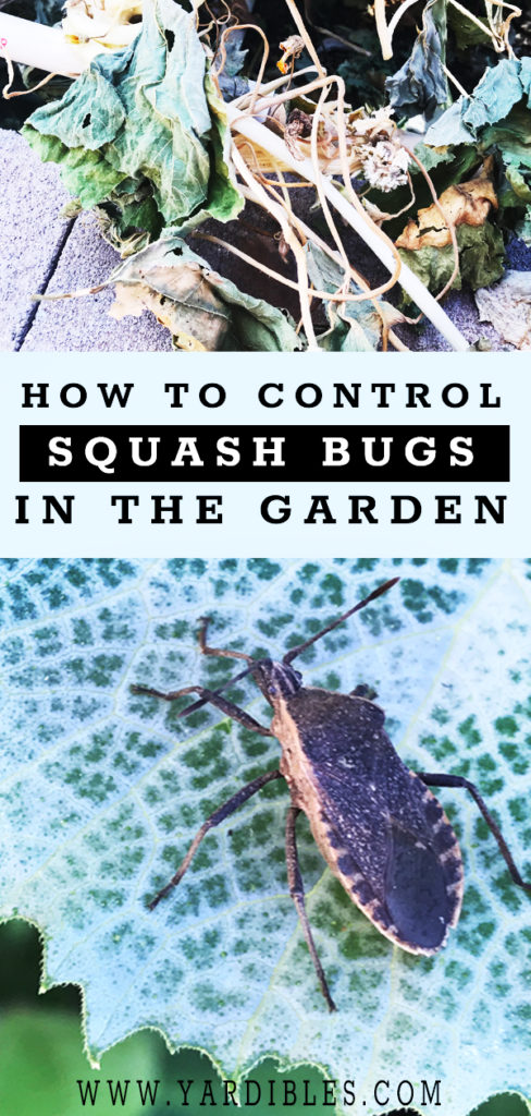 2 ways to control squash bugs