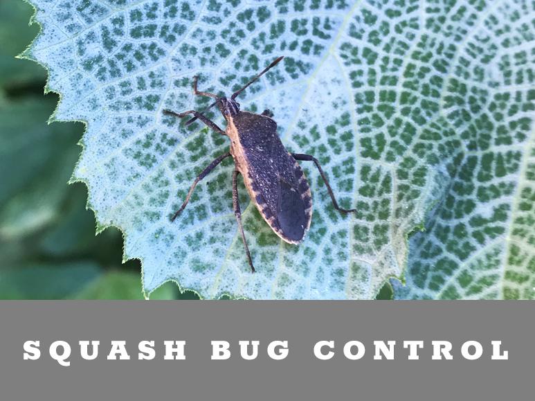 Battling Squash Bugs in the Garden