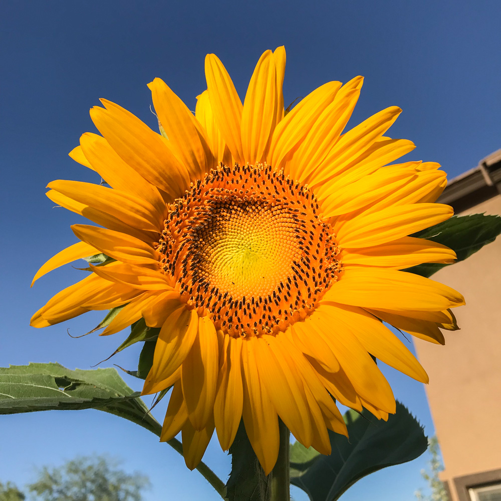 When to plant Mammoth Sunflowers in Arizona's Low Desert Garden.