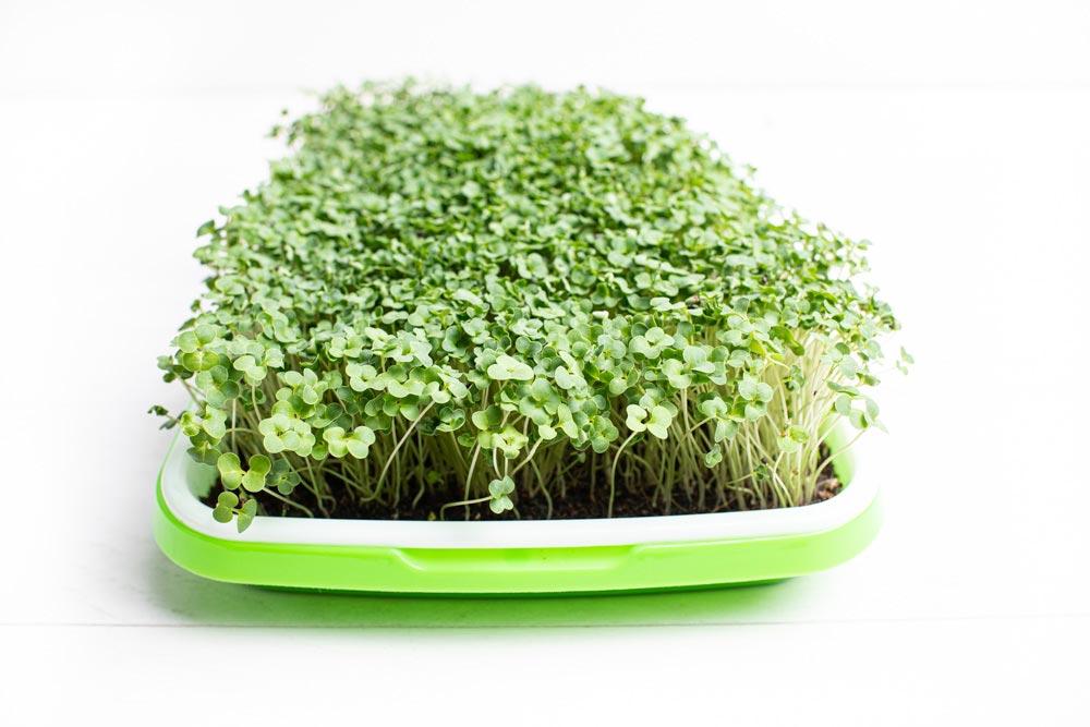 how to grow broccoli microgreens
