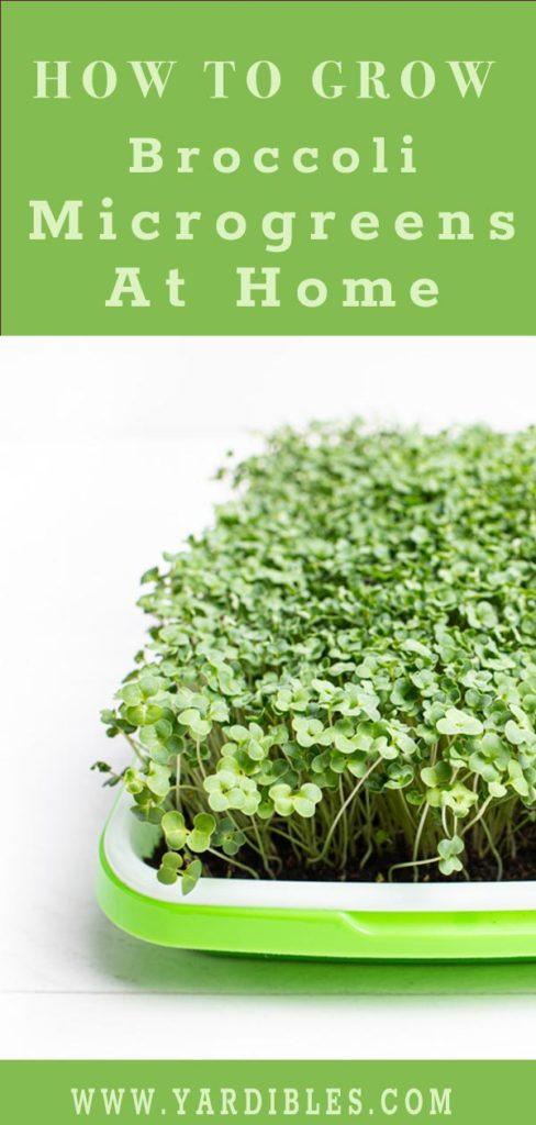 How to grow broccoli microgreens at home