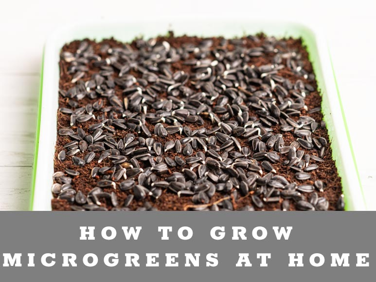 Learn how to grow microgreens at home