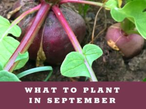 What to Plant in September in your Arizona Garden